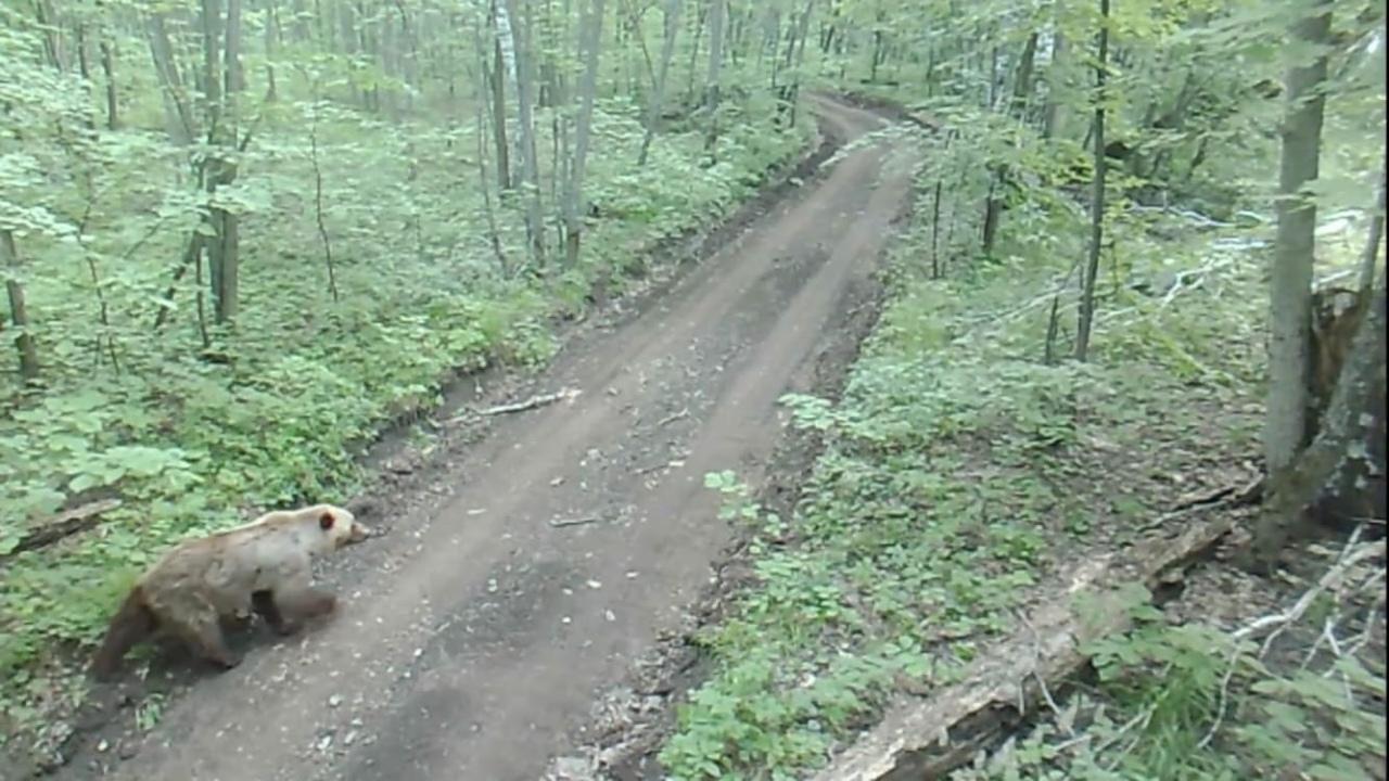 В национальном парке «Башкирия» на тропу вышла медведица с медвежатами
