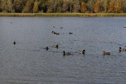 Дикие утки облюбовали озеро Кашкадан
